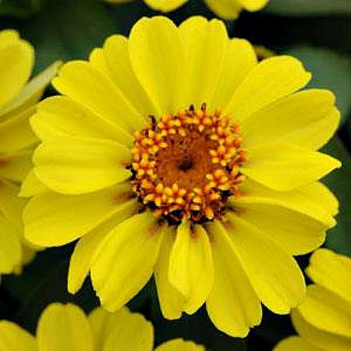Seminte ZINNIA marylandica ZAHARA F1 Yellow - Carciumarese