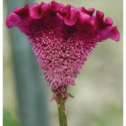 Seminte CELOSIA cristata BOMBAY Purple - Creasta cocosului