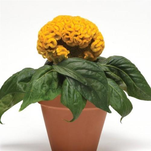 Seminte CELOSIA cristata Concertina Yellow - Creasta cocosului