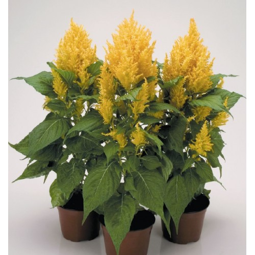 Seminte CELOSIA plumosa FRESH LOOK Gold - Creasta cocosului