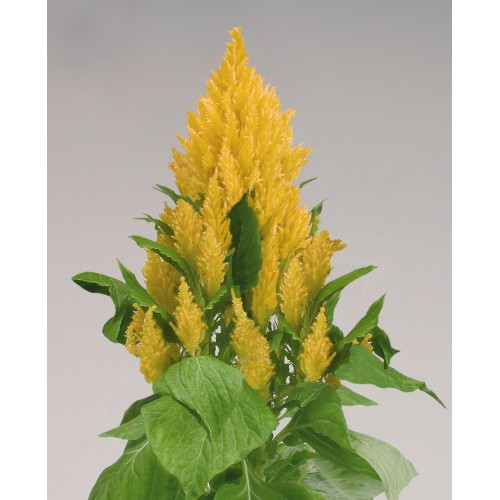 Seminte CELOSIA plumosa FRESH LOOK Yellow - Creasta cocosului
