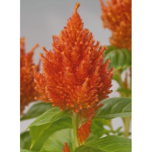 Seminte CELOSIA plumosa GLORIOUS Orange - Creasta cocosului