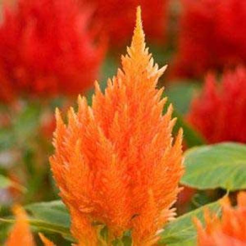 Seminte CELOSIA plumosa ICE CREAM Orange - Creasta cocosului