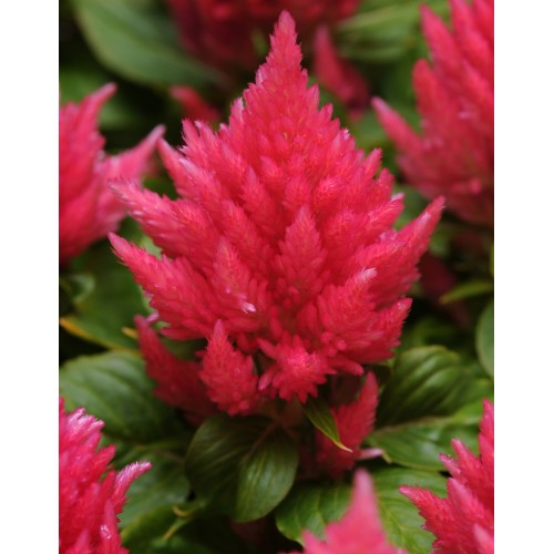 Seminte CELOSIA plumosa ICE CREAM Pink - Creasta cocosului
