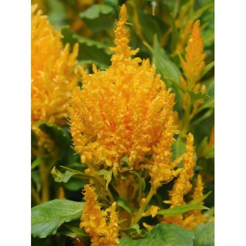 Seminte CELOSIA plumosa ICE CREAM Yellow - Creasta cocosului