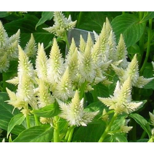 Seminte CELOSIA spicata Celway White - Creasta cocosului