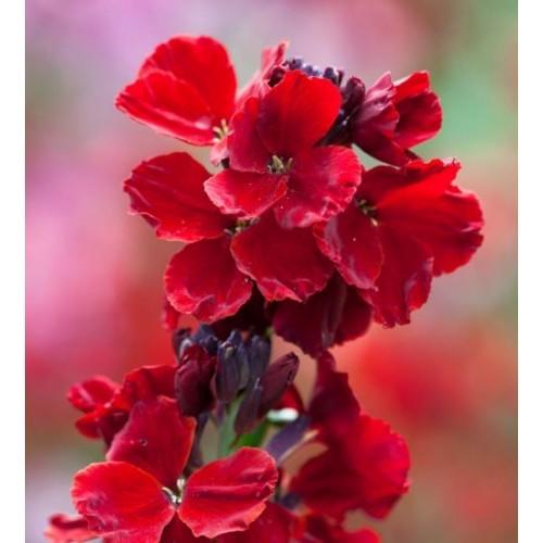 Seminte CHEIRANTHUS cheiri SUNSET F1 Red - Micsunele