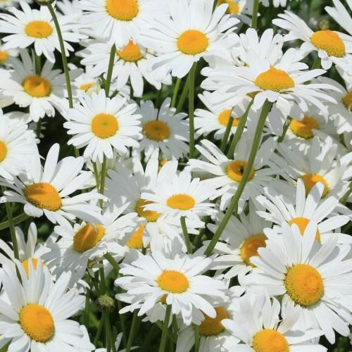Seminte CHRYSANTHEMUM leucanthemum Silver Princess - Margarete