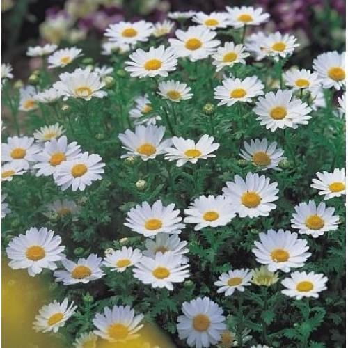 Seminte CHRYSANTHEMUM paludosum Snowland - Margareta pitica