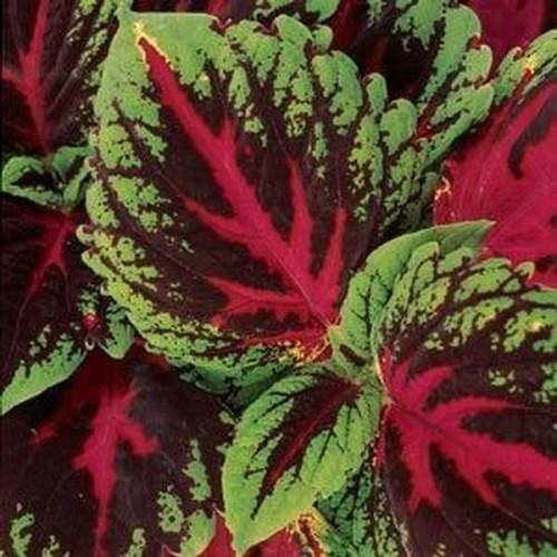 Seminte COLEUS blumei KONG Red - Urzicuta