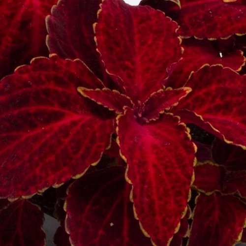 Seminte COLEUS blumei WIZARD Velvet Red - Urzicuta