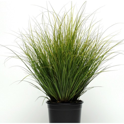 Seminte g CAREX Phoenix Green -Iarba decorativa