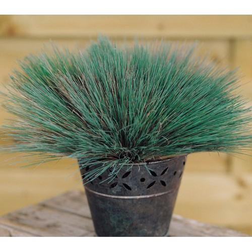Seminte g COLORGRASS -CORYNEPHORUS Spiky Blue -Iarba decorativa