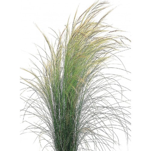 Seminte g NASSELLA tenuissima Pony Tails - Iarba decorativa