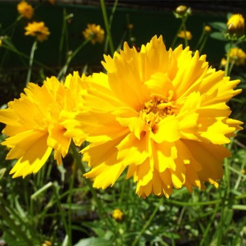 Seminte COREOPSIS grandiflora - Early Sunrise Lipscanoaie
