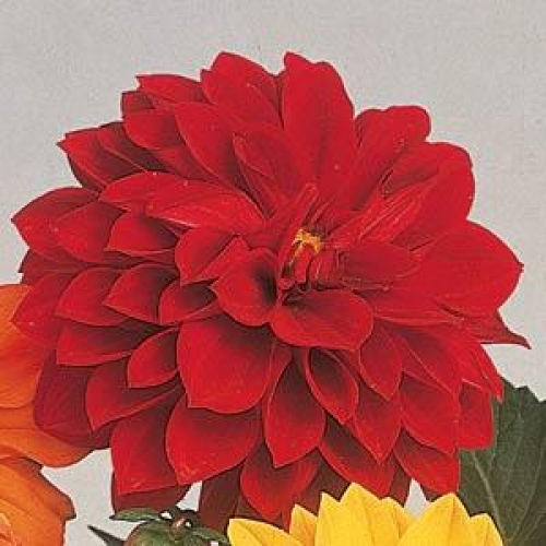 Seminte DAHLIA variabilis FIGARO Red Shades - Dalia, Gherghine
