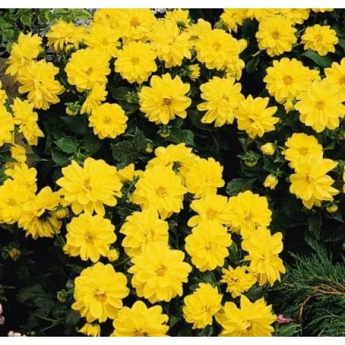 Seminte DAHLIA variabilis FIGARO Yellow Shades - Dalia, Gherghine