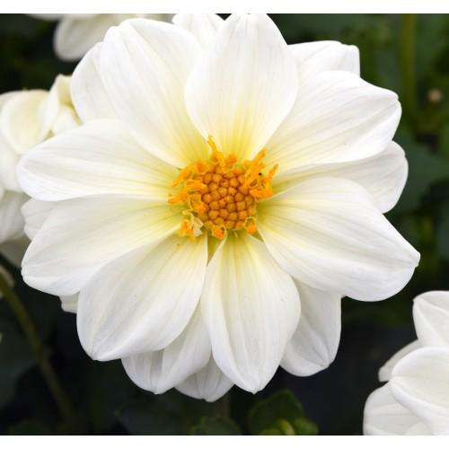 Seminte DAHLIA variabilis FIGARO White - Dalia, Gherghine