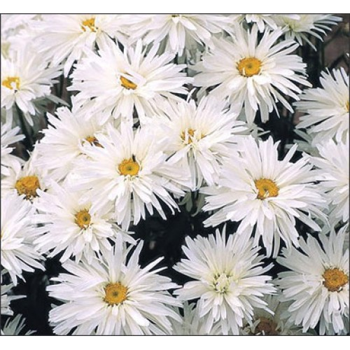 Seminte CHRYSANTHEMUM leucanthemum  superbum Crazy Daisy - Margarete batute
