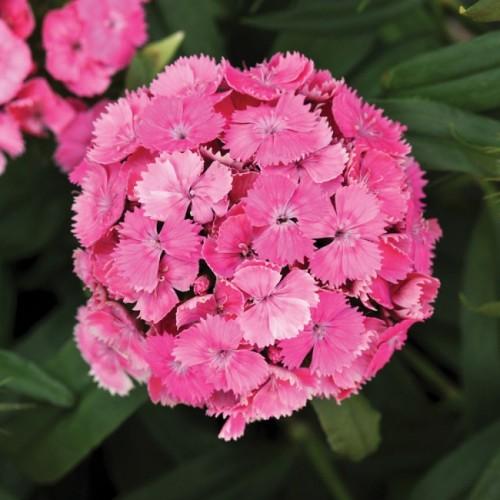 Seminte DIANTHUS barbatus DASH F1 Pink - Garofite turcesti