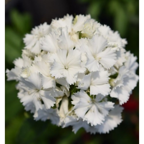 Seminte DIANTHUS barbatus DASH F1 White - Garofite turcesti