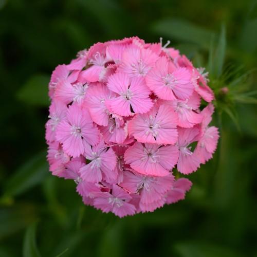 Seminte DIANTHUS barbatus SWEET F1 Deep Pink Maxine -Garofite turcesti