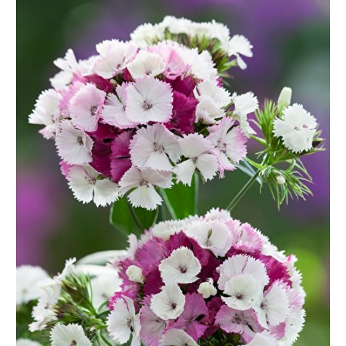 Seminte DIANTHUS barbatus SWEET F1 Pink Magic -Garofite turcesti