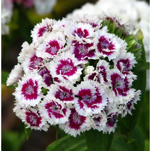Seminte DIANTHUS barbatus SWEET F1 Purple White Bicolor -Garofite turcesti