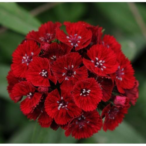 Seminte DIANTHUS barbatus SWEET F1 Red -Garofite turcesti