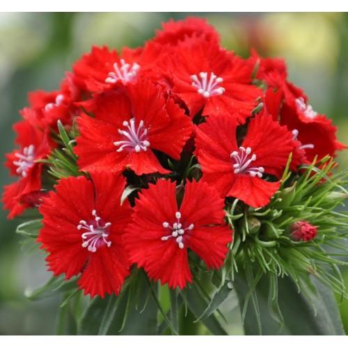 Seminte DIANTHUS barbatus SWEET F1 Scarlet -Garofite turcesti