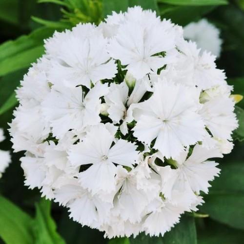 Seminte DIANTHUS barbatus SWEET F1 White -Garofite turcesti