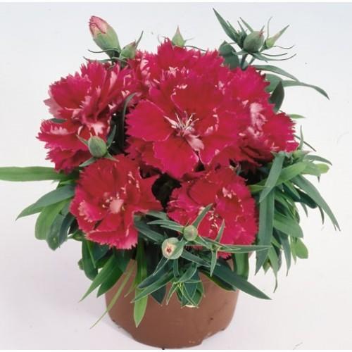 Seminte DIANTHUS chinensis Grace F1 Deep Rose - Garofita