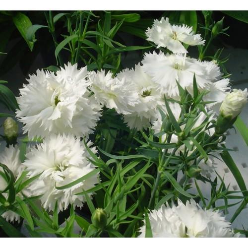 Seminte DIANTHUS chinensis Grace F1 White - Garofita