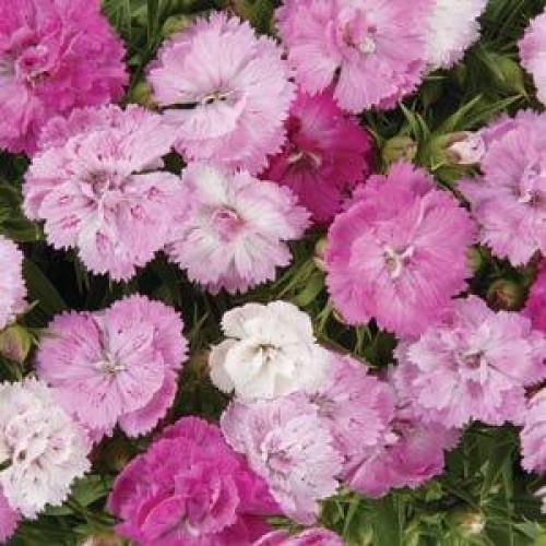 Seminte DIANTHUS hybrid DYNASTY  F1 Pink Magic - Garofite