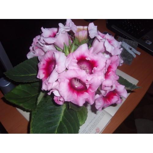 Seminte GLOXINIA (SININGIA) EMPRESS F1 Pink Bicolour