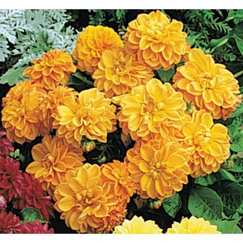 Seminte DAHLIA variabilis FIGARO Orange Shades - Dalia, Gherghine