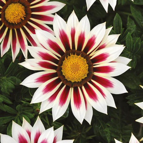 Seminte GAZANIA rigens NEW DAY F1 Rose Stripe