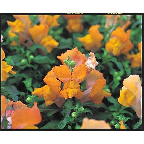 Seminte ANTIRRHINUM majus MAGIC F1 Bronze - Gura  leului