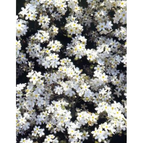 Seminte MYOSOTIS  alpestris White - Nu-ma-uita