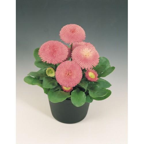 Seminte BELLIS perennis TASSO Pink -Paralute