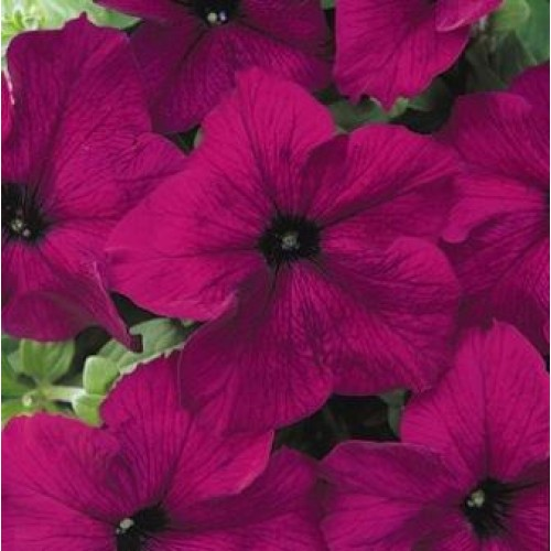 Seminte PETUNIA grandiflora DREAMS F1 Burgundy