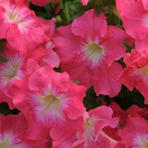 Seminte PETUNIA grandiflora DREAMS F1 Coral Morn
