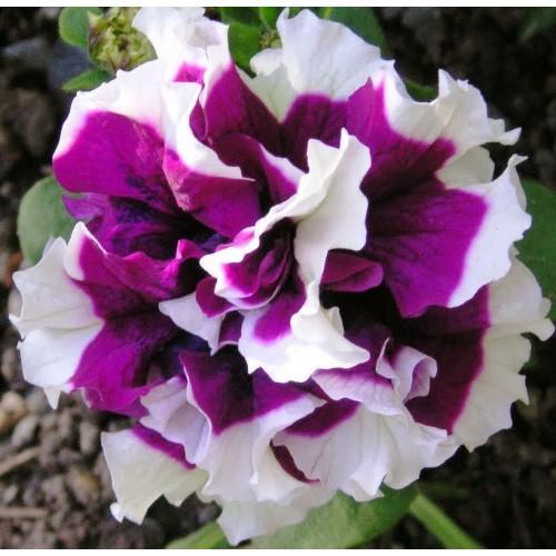 Seminte PETUNIA grandiflora DOUBLE PIROUETTE F1 Purple