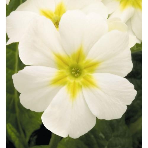 Seminte PRIMULA elatior CRESCENDO White - Ciubotica cucului