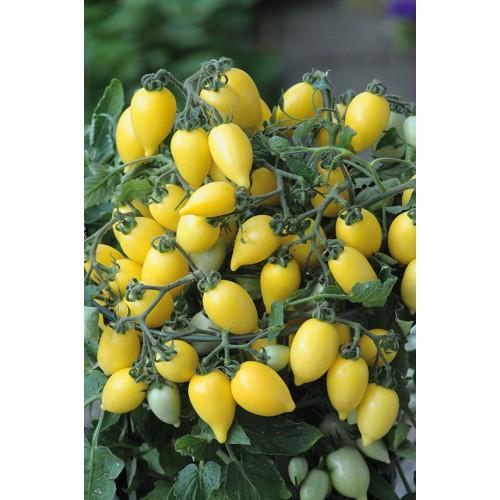 Seminte z SOLANUM tomato Funnyplums Creamy Yellow