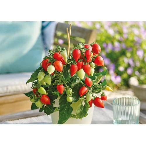 Seminte z SOLANUM tomato Funnyplums Red