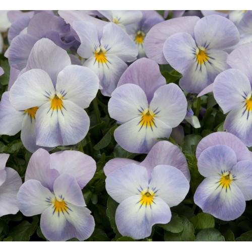 Seminte VIOLA cornuta FLORAL POWER F1 Lavender Pink - Panselute multiflore