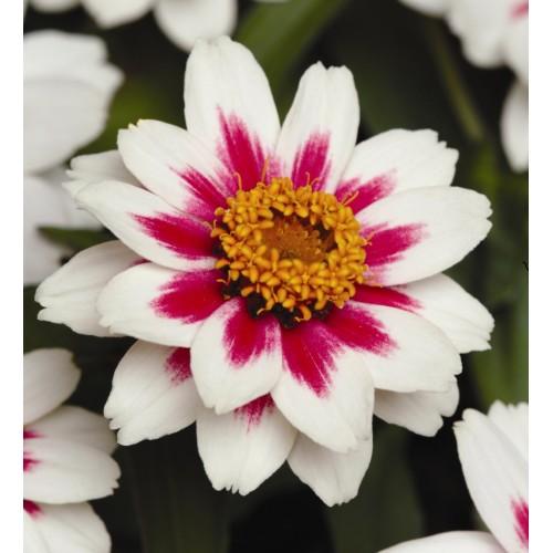 Seminte ZINNIA marylandica ZAHARA F1 Starlight Rose - Carciumarese