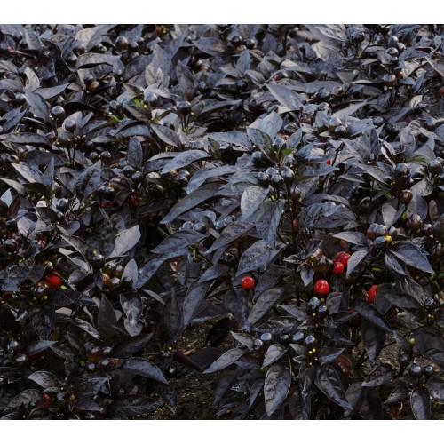 Seminte zz CAPSICUM annuum BLACK PEARL - Ardei decorativ