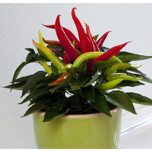 Seminte zz CAPSICUM annuum CUPALA Red - Ardei decorativ